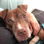 Max, il cane anziano di 11 anni abbandonato 48 ore dopo esser stato adottato