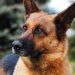 La storia di Ares, da cane abbandonato a cane poliziotto