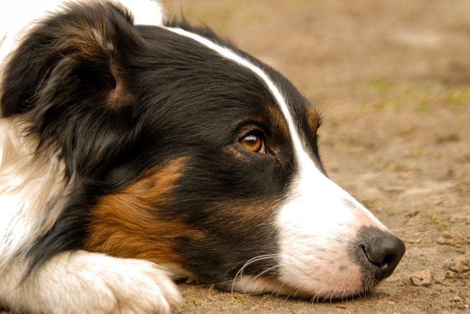 Storie d'amore di cani: Border Collie scappa da casa e raggiunge padrone all'obitorio
