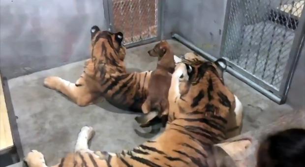 Cuccioli di cani chiusi in gabbia con le trigri