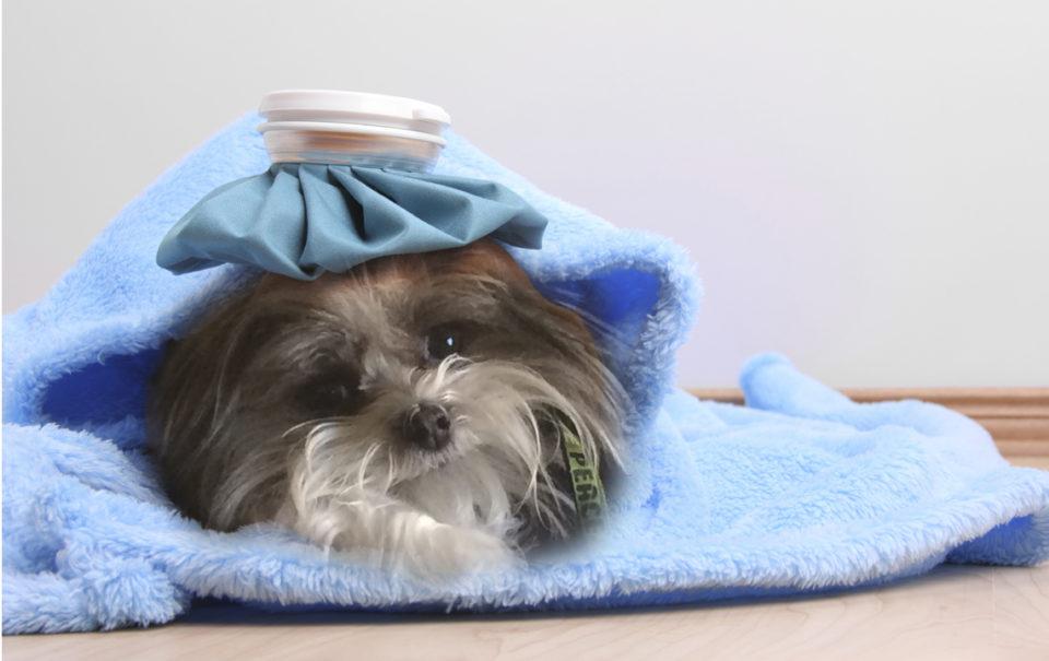 coronavirus nel cane