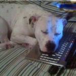 Cane si addormenta così dopo la videochat con la sua umana