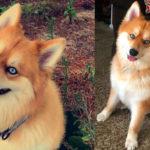 Curiosità sui cani: Il cane volpe