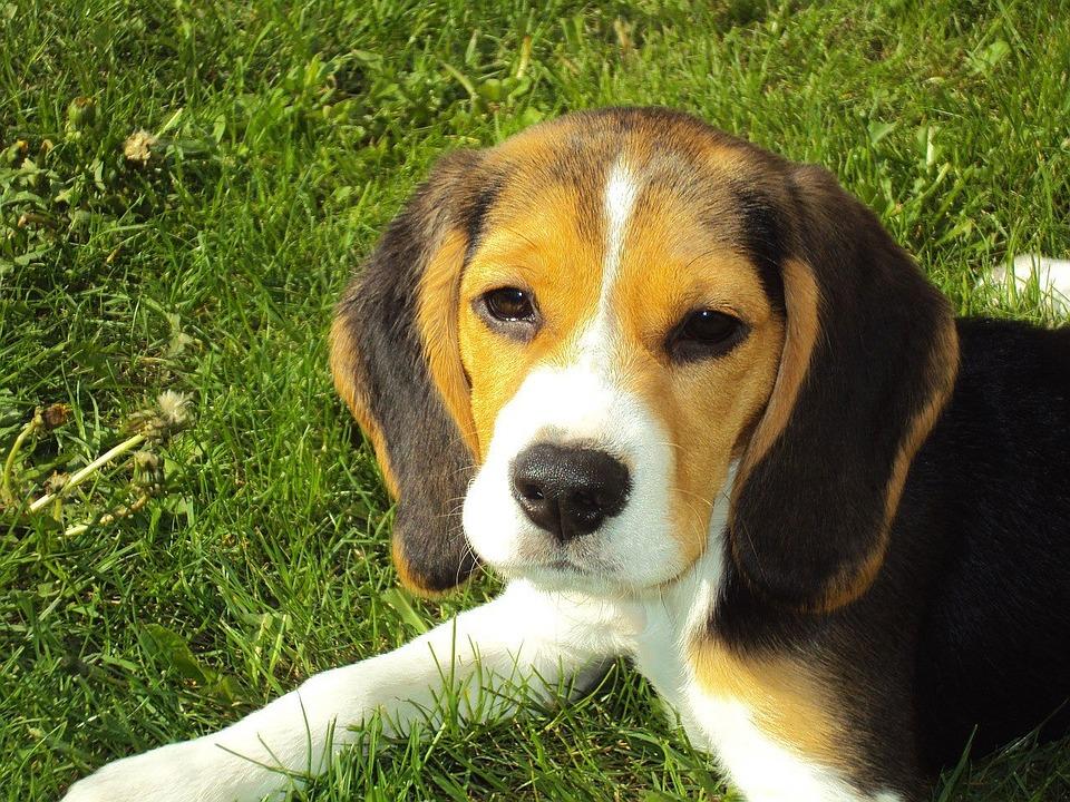 Beagle, razza del cane, carattere e allevamento