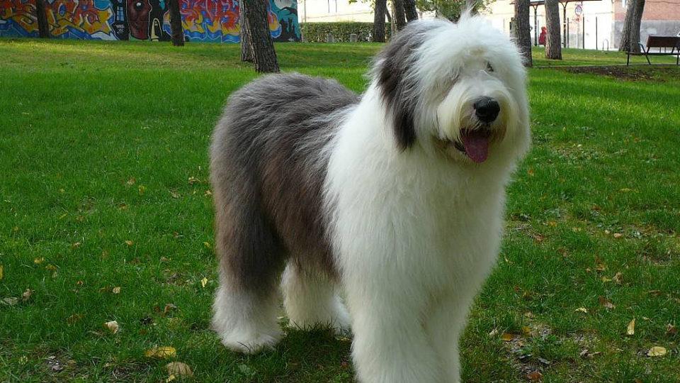 bobtail, cane di origine inglese