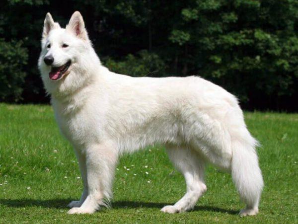 pastore-svizzero-bianco