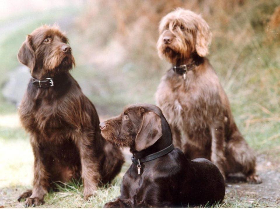 Pudel pointer cane da caccia