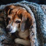 accudire cane sterilizzato