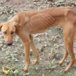 cane anoressico