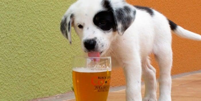 cane beve birra