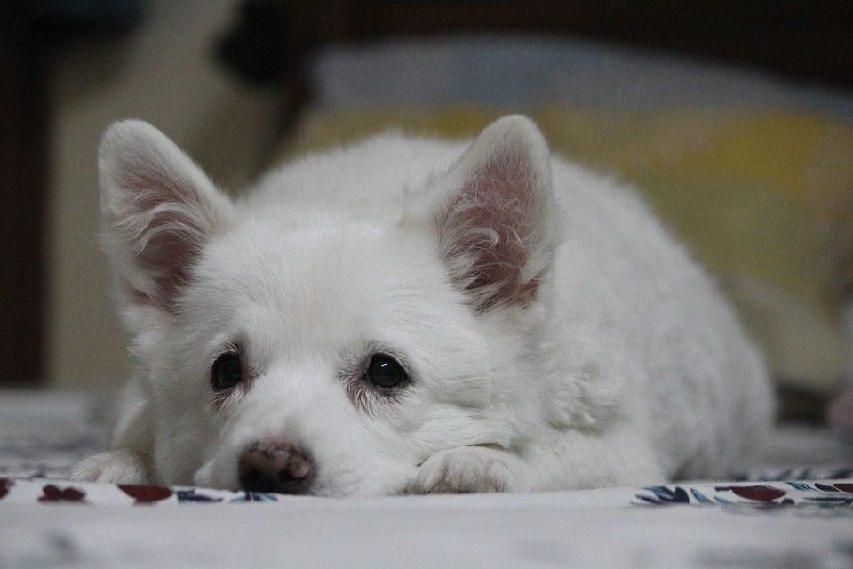 spitz giapponese, razza del cane