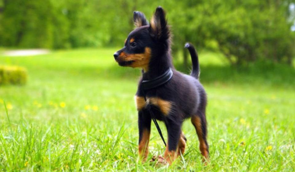 Toy Russo o in lingua originale russian toy, è un cane da compagnia molto apprezzato