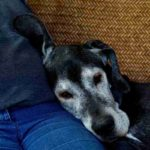 Demenza senile nel cane, sintomi e rimedi